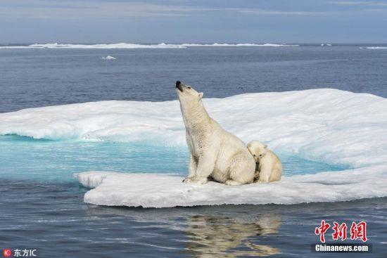 """2018年8月23日报道(具体拍摄时间不详),野生动物摄影师Florian Ledoux使用无人机在加拿大努勒维特地区航拍了一组北极熊照片。照片中,北极熊隐藏在同为白色的浮冰之中,乍一看上去还不易发现。Florian说:""""我的照片揭露了努勒维特地区北极熊的夏季栖息地状况,通过照片可以看到,北极熊在薄的、破碎的浮冰之间跳来跳去,而这些浮冰却正迅速地退化消融。图片来源:东方IC"""