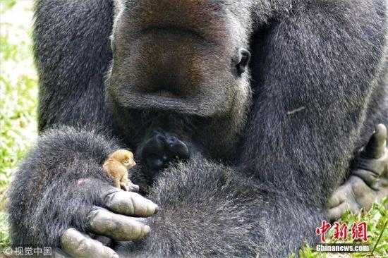 """2018年9月4日讯,喀麦隆,据报道,非洲一家致力于救助濒临灭绝大猩猩的非营利组织――Action Africa,近日在森林保护区里拍到了一个有趣的事,一只名叫Bobo的24岁雄性大猩猩,和一只还没有它手掌大的野生灌丛婴猴成了好朋友。""""一天早上,在例行检查时,我们的工作人员发现Bobo的手上抱着一个不大点的野生灌丛婴猴,""""Ape Action Africa的发言人表示:""""这只灌丛婴猴在Bobo时而在周围的草地上跳来跳去,时而再回到Bobo的身边,它看上去完全不害怕Bobo。"""" 图片来源:视觉中国"""