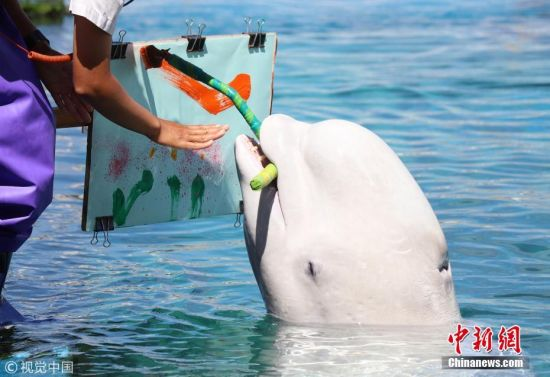 当地时间2018年9月9日,日本横滨,八景岛海洋乐园水族馆举办白鲸艺术活动,一头白鲸叼着画笔作画有模有样。 图片来源:视觉中国