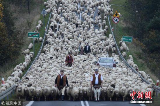 9月27日讯(具体拍摄时间不详),波兰,浩浩荡荡的绵羊大军为了赶在冬天之前回到农场过冬,阻断了乡村的主车道,车辆不得不停下来,仿佛被无穷无尽的羊群吞没了,场面非常壮观。牧羊人赶着羊群走下波兰南部喀尔巴阡山,他们要走20英里才能回到农场。这些照片是由获奖摄影师Bartlomiej Jurecki拍摄的。图片来源:视觉中国