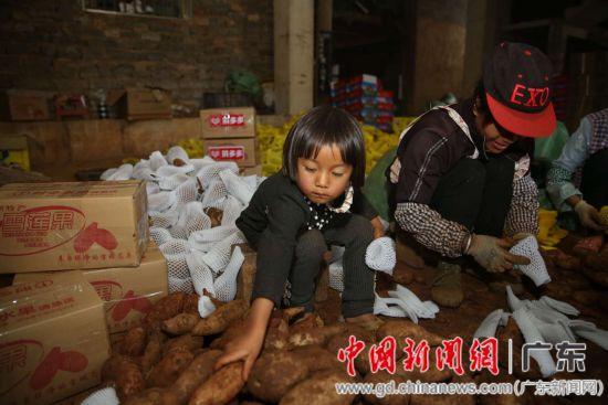 通过拼多多平台,云南文山雪莲果成了消费者新宠。