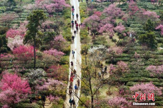 2月25日,航拍南京紫金山的梅花。随着天气逐渐转暖,位于南京紫金山上的数万株梅花陆续进入盛开期,吸引了众多市民前来踏青赏梅。中新社记者 泱波 摄