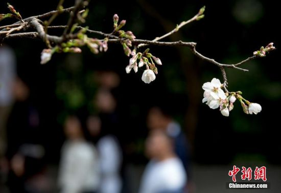 3月18日,武汉大学樱花大道上的樱花初绽,吸引不少游人前来赏花。中新社记者 张畅 摄