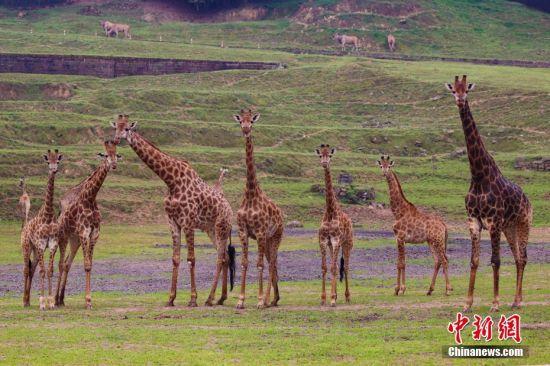近日,在重庆永川乐和乐都野生动物世界内,一群来自非洲的长颈鹿来到户外,兴致勃勃地朝山坡上走去。王成杰 摄