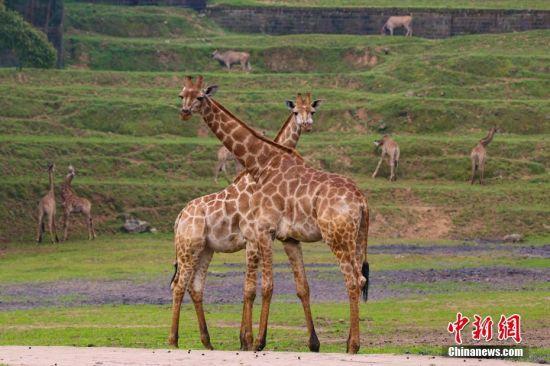 据了解,长颈鹿是好奇心比较重的群居性动物,它们的原产地非洲几乎都是平原。王成杰 摄