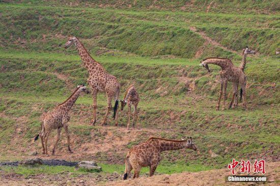 """来到""""山城""""重庆后,长颈鹿看到山坡后,就对身边的环境充满好奇,想要""""登高望远""""。王成杰 摄"""