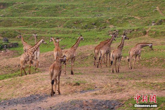 只要有一头长颈鹿走到山坡上,其它长颈鹿也会跟着一起上去。 王成杰 摄