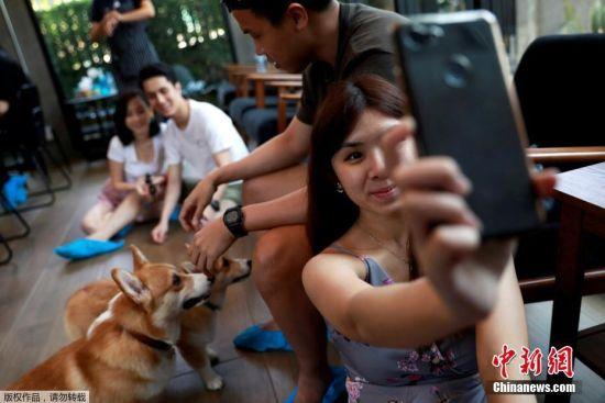 3月27日消息,泰国曼谷一家咖啡馆有12只柯基犬,柯基因其矮矮胖胖的个子和傻乎乎的性格过去几年在泰国人气飙升。