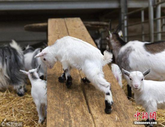 """当地时间2019年3月27日,英国南约克郡巴恩斯利坎农霍尔农场,一群4周大的侏儒山羊羔在农场主搭建的木""""滑梯""""上玩耍。这些小山羊轮流爬上木板搭成的斜坡,然后用它们的蹄子一路滑下来。 图片来源:视觉中国"""