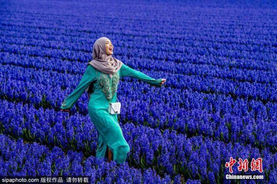 当地时间4月6日,荷兰一片风信子花田进入盛放期,游客在蓝色花田中拍照。图片来源:Sipaphoto版权作品 禁止转载