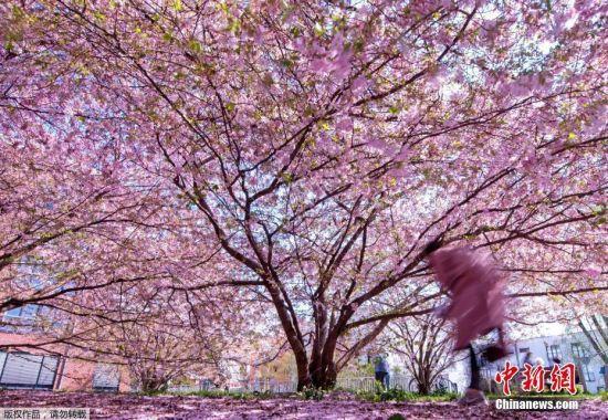 当地时间4月7日,德国波恩樱花盛开,吸引大批游客和市民观看。