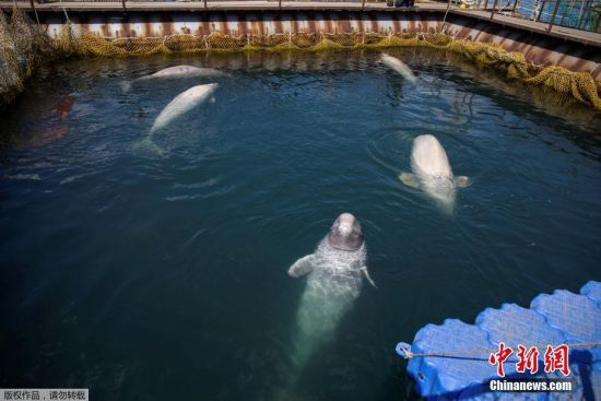 当地时间4月7日,俄罗斯远东沿海纳霍德卡(Nakhodka)港附近,近百头鲸鱼被关在空间狭小的养殖设施中。据报道,国际科学和环保人士于当日造访该养殖基地进行调查,同时宣布这批鲸鱼将在夏季被释放。