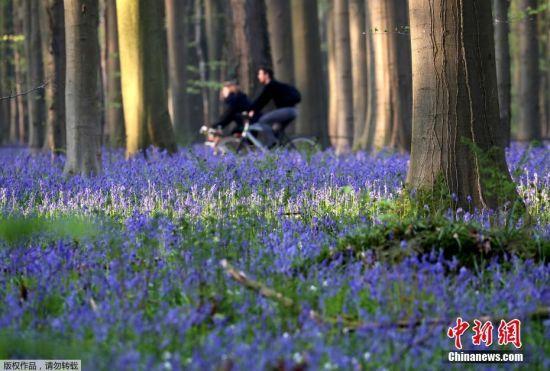4月18日,比利时哈勒博斯(Hallerbos)一个树林内长满了野生风信子,似蓝色地毯。人们穿梭期间宛如来到了童话世界。