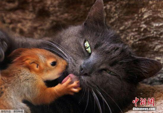 2019年4月25日,克里米亚一只名叫普沙的猫,收养了四只失去亲人的小松鼠,目前和它们一起进食和生活。