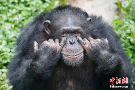"""5月8日是""""世界微笑日"""",但微笑不只是人独有的表情,在野生动物的脸上也会在不经意间流露出微笑的面容。近日,在重庆乐和乐都野生动物世界,工作人员抓拍了黑猩猩、宽吻海豚、非洲象、小熊猫、大羚羊等野生动物的微笑,希望借此传递微笑和快乐。 图为黑猩猩的""""搞怪微笑。""""王成杰 摄"""