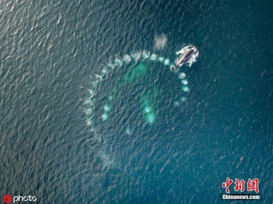 """5月7日报道,野生动物摄影师Vadim Balakin在位于英格兰北部的设德兰群岛,捕捉到一组罕见的座头鲸围捕场面。画面中,座头鲸在吐泡泡的同时围绕一群浮游生物和小鱼游动,随着圆圈半径收窄,猎物被周围的气泡牢牢""""网住"""",最后座头鲸再浮出水面在换气的同时大块朵颐。图片来源:ICphoto"""