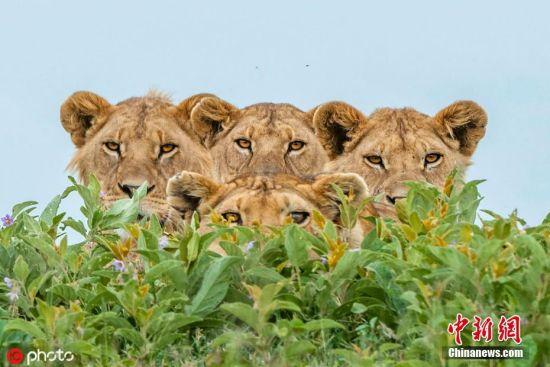 """2019年5月15日消息,日前,瑞典摄影师Daniel Rosengren去到坦桑尼亚,在塞伦盖蒂国家公园遇到一只母狮带着四只狮宝宝在草原上晒太阳。面对Daniel的镜头,母子五只警觉地躲在草丛后,聚在一起凝视着Daniel发出危险""""警告""""。 图片来源:ICphoto"""