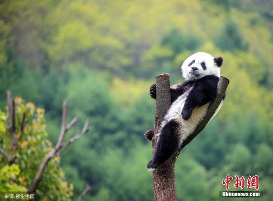 近日,四川省阿坝藏族羌族自治州汶川县耿达乡,中国保护大熊猫研究中心耿达基地内的大熊猫在玩耍、睡觉,萌态十足。刘国兴 摄 图片来源:视觉中国