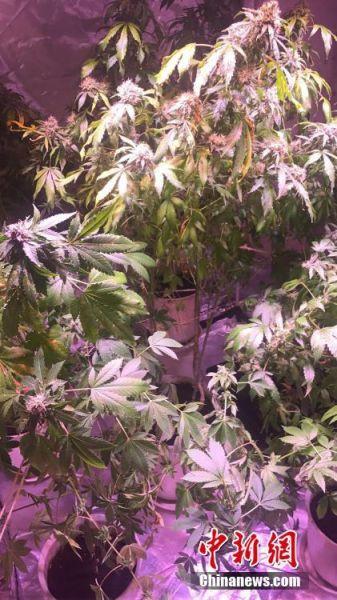 大麻植株栽在花盆里,上面悬挂着LED灯。文/奚金燕 钱含情 金华公安供图