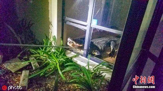 """6月4日报道(具体拍摄时间不详),日前,美国佛州清水市的77岁女子玛丽-维施胡森(Mary Wischhusen)家中迎来了一位""""不速之客"""",一头巨型短吻鳄闯入了玛丽家的厨房。玛丽凌晨3点的时候被来自厨房的声响惊醒,一开始还以为是家里进了贼,不曾想到了厨房后才发现,造成这声响的竟然是一头11英尺(约3.35米)的短吻巨鳄,巨鳄的出现给玛丽吓得不轻。这头""""巨兽""""打碎了玛丽家厨房的玻璃闯了进来,还打翻了玛丽珍藏的红酒以及厨房的桌子。之后,玛丽打电话向清水市警局寻求帮助。最终巨鳄被警方逮捕归案。图片来源:ICphoto"""