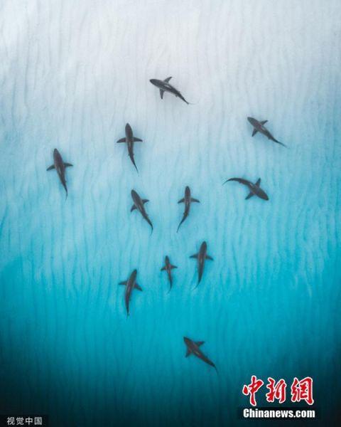 2019年6月4日讯(具体拍摄时间不详),澳大利亚西海岸,海岸线附近清澈浅水里的成群鲨鱼在觅食,景象震撼。图片来源:视觉中国