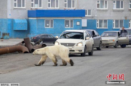 当地时间6月18日,俄罗斯有关部门表示,一只饥饿的北极熊在俄罗斯工业城市诺里尔斯克郊区被发现,距离其自然栖息地数百英里。