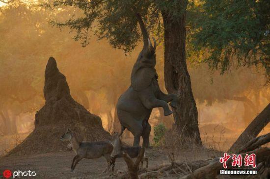 6月26日消息,随着旱季来临,在地面上寻找食物已经变得越来越困难了。为了获取食物,聪明的大象已经找到了一种特殊的方法觅食,那就是通过直立并用鼻子获取树上的食物。图片来源:ICphoto