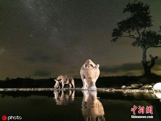 """6月27日消息,摄影师Clint Ralph在南非Zimanga自然保护区完成了一组动物夜拍,呈现了你从未见过的自然界真正""""野兽派""""。图片来源:ICphoto"""