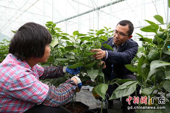 中山局扶贫工作组负责人高锋指导当地农户如何种植彩椒。孙嘉彪 摄