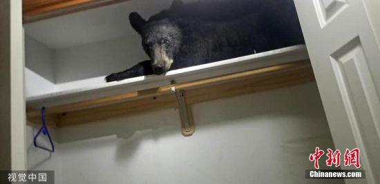 近日,美国蒙大拿州米苏拉县,一头黑熊在居民家中的橱柜里打盹。早上5点45分左右,警员接到报警电话,说有一头熊被困在屋里。当警察赶到时,他们发现这只黑熊打开了这所房子寄存室的门,还从里面把门闩上了。无法离开后,熊在房间里大肆破坏了一番,然后爬到壁橱里打了个盹。最后一位蒙大拿州鱼类、野生动物和公园管理部门的工作人员让这头熊平静下来,以便对它进行重新安置。 图片来源:视觉中国