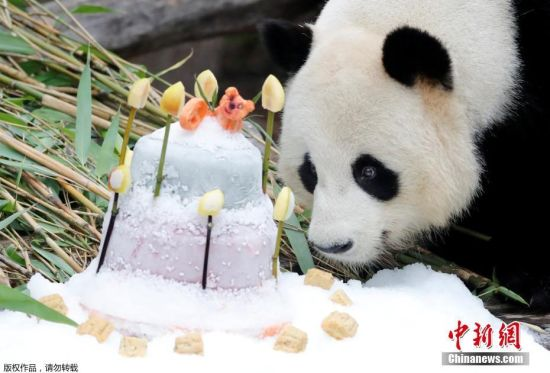 """当地时间7月15日,德国柏林,柏林动物园为旅德大熊猫""""娇庆""""庆祝九岁生日。"""