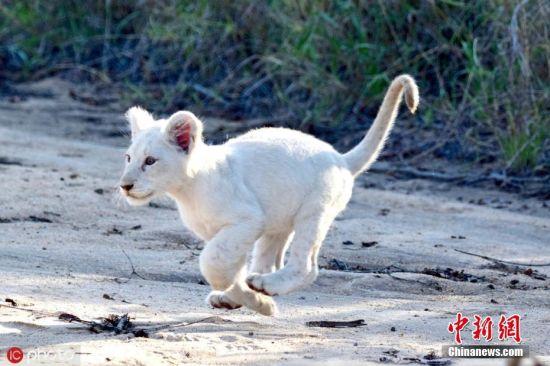 近期,摄影师Ramsay Horton在南非克鲁格国家公园游览时捕捉到一头小白狮,要知道,目前已知的野生白狮仅存15只。从画面中可以看到,母狮带着一群小狮子在沙地上玩耍,一头周身雪白的小狮子格外显眼,小家伙们蹦蹦跳跳得,看起来十分健康。图片来源:IC photo