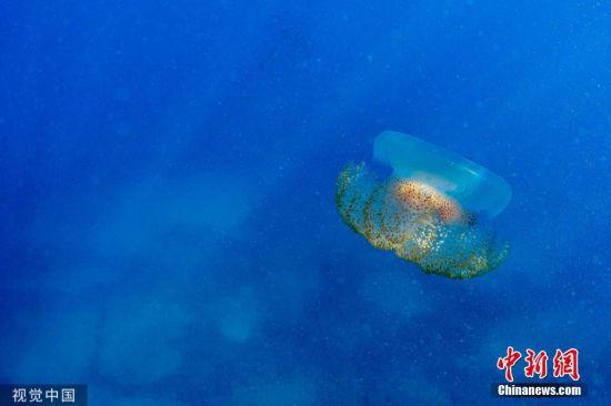 当地时间2019年7月29日,黎巴嫩Qalamun,一只大水母在水中游动。 图片来源:视觉中国