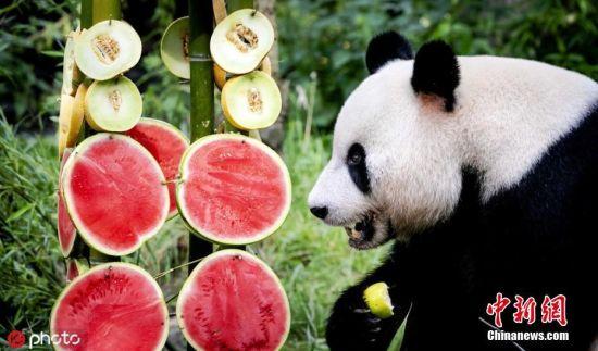 当地时间8月8日,荷兰雷恩,旅荷大熊猫星雅在荷兰动物园迎来自己的6岁生日,动物园的工作人员贴心为她准备了水果竹子拼盘。图片来源:ICphoto