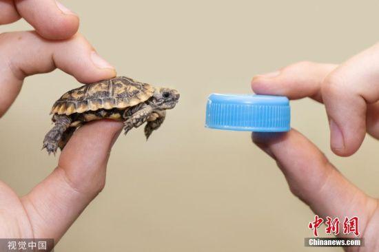 """2019年8月22日讯(具体拍摄时间不详),英国西米德兰郡,一只极度濒危的薄饼龟于7月10日在西米德兰动物园成功孵化。小龟只有瓶盖那么大,被命名为""""Hartley"""",它时该动物园成功孵化的第二只薄饼龟。 图片来源:视觉中国"""