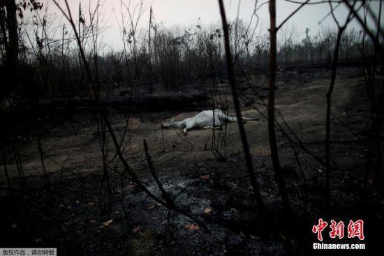 当地时间8月24日,亚马孙雨林大火后的小径上发现一头母牛的尸体。当地时间24日,据外媒援引巴西政府官方数据,在巴西亚马孙雨林内又新增了数百个起火点。在巴西邻国玻利维亚境内,东部地区的雨林大火仍在持续蔓延,并没有减弱的迹象,而近来的强风及高温天气加剧了本已严峻的形势。目前过火面积已经超过80万公顷。