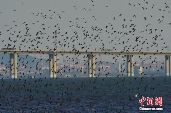 9月18日,随着天气转凉,近万只�a鹬类候鸟迁回山东省青岛市胶州湾国家级海洋公园准备越冬,鸟群集结场面蔚为壮观。据悉,胶州湾国家级海洋公园是东亚候鸟迁徙路线上的重要通道,每年春秋两季,数百万只候鸟在此过境,部分�a鹬类候鸟停留越冬。中新社发 王海滨 摄 图片来源:CNSPHOTO