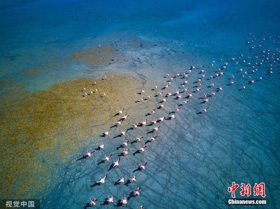 10月15日消息,业余摄影师Musa Keskin在土耳其拍到一群迁徙中的火烈鸟飞过Yarisli湖,它们的脚爪擦过浅水,留下清晰的足迹。Yarisli湖的湖水过去有4米深,现在则仅有70厘米。图片来源:视觉中国