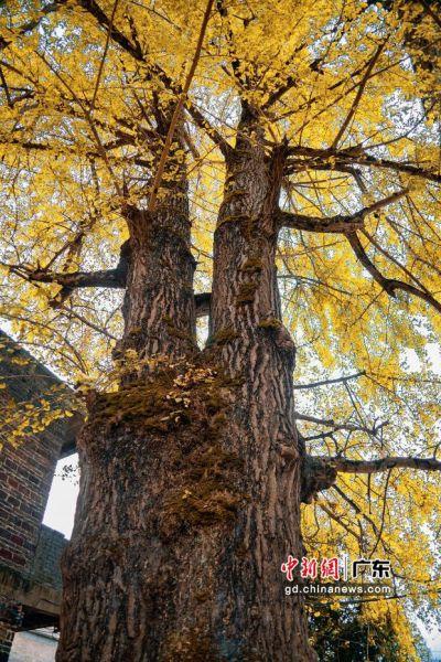 在小江镇罗汉村,有十八棵银杏树的树龄均在千年以上。通讯员 供图
