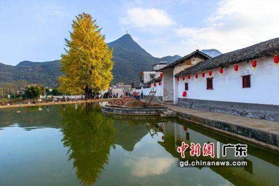 """罗汉狮子尾村计划重点开发为""""美丽乡村+银杏村""""的银杏特色村。 通讯员 供图"""