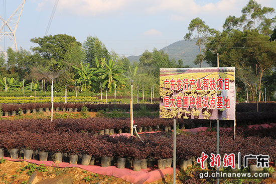 在广东农行支持下,麦湖村建起了苗圃产业基地。省农行供图