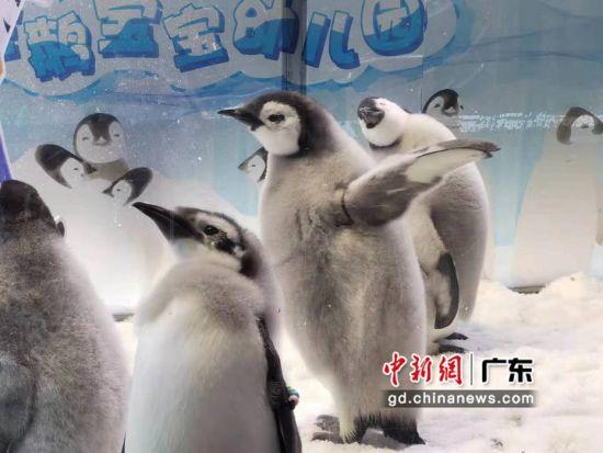 新生不久的小帝企鹅宝宝身上还有一层绒毛。邓媛雯摄影