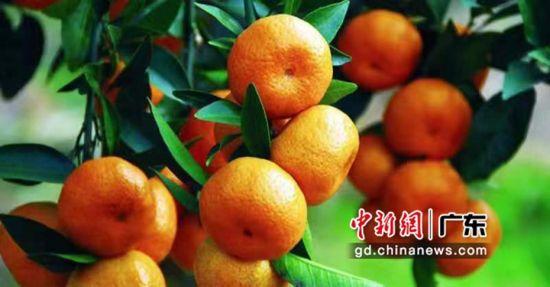 清新冰糖桔果色橙红美观。通讯员 供图
