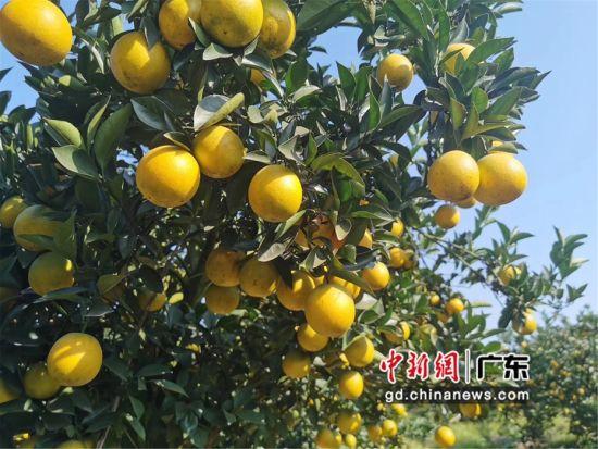 图为广东博罗县杨村镇首届柑桔文化节现场 李巧珍 摄