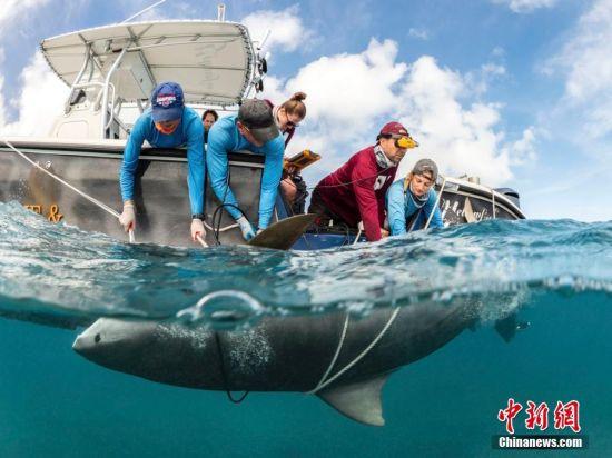 2月2日消息,近日在巴哈马群岛虎滩,一个鲨鱼保护研究科学队对五只虎鲨进行怀孕扫描并捕捉到一条小鲨鱼在鲨鱼子宫内蠕动。