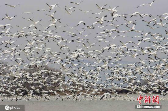 当地时间2020年2月22日,美国犹他州米勒德县德尔塔,约15,000只从墨西哥迁徙而来的雪雁在当地湖面停留,准备飞往到北极。