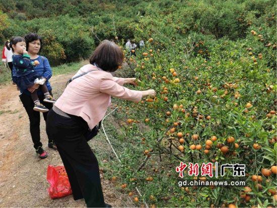 图为博罗县横河镇沙上村的桔子,吸引了游客来采摘 博罗县委宣传部供图