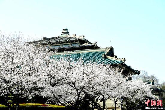 3月18日,武汉大学的樱花如约盛放,树连树,花连花。今年的武汉大学没有了往年的人山人海,美丽的樱花在春天里独自绽放。 安源 摄