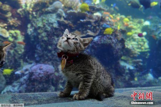 4月22日消息,近日,美国亚特兰大的乔治亚水族馆迎来了一群特殊的客人,五只小奶猫成为了特殊时期这里的游客,它们好奇的探索海底世界。图片由乔治亚水族馆于4月20日发布。