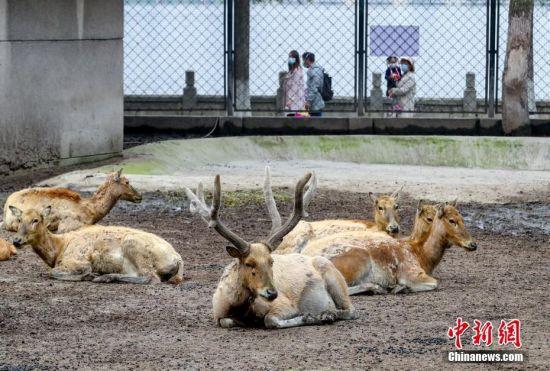 4月22日,游客在武汉动物园内游玩。当日,武汉动物园恢复开放。疫情防控阶段每日限流1.5万人次,采取无接触的售票方式。园内露天动物场馆正常开放,大熊猫馆、河马馆、犀牛馆、狒狒馆等四个场馆仅开放室外区域。 中新社记者 张畅 摄